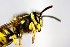 Kopf der Wespe im grauen Hintergrund stockfotografie