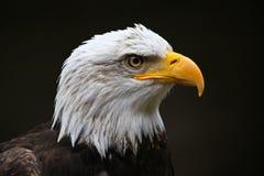 Kopf des Adlers Lizenzfreies Stockfoto