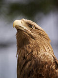 Kopf des Adlers Lizenzfreie Stockfotografie