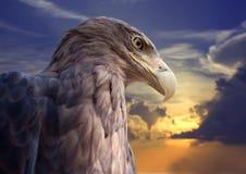 Kopf des Adlers gegen Sonnenuntergang Lizenzfreie Stockfotos