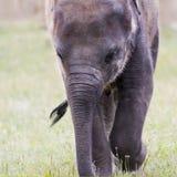 Kopf des asiatischen oder asiatischen Elefanten des Elefanten Lizenzfreies Stockbild