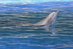Kopf des Bottlenosedelphins Lizenzfreie Stockfotos