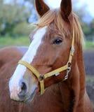 Kopf des braunen Pferds Stockbilder