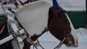 Kopf des braunen Pferds, des Geschirrs und des Kopfnickens, Winter, Schnee stock video footage