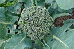 Kopf des Brokkolis wachsend mit Blättern Lizenzfreie Stockbilder