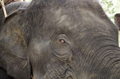 Kopf des Elefanten Stockbild