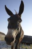 Kopf des Esels lizenzfreies stockfoto