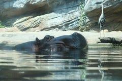 Kopf des Flusspferds Stockbilder