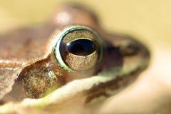 Kopf des Frosches Lizenzfreie Stockfotografie