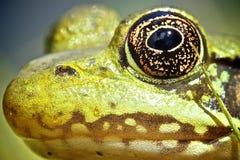Kopf des Frosches Stockfotografie
