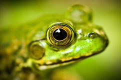 Kopf des Frosches Stockbild
