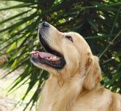 Kopf des goldenen Apportierhunds oben Stockbilder