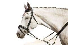 Kopf des grauen stillstehenden Pferds Lizenzfreies Stockfoto
