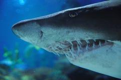 Kopf des Haifischs Stockbild
