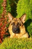 Kopf des Hundes Stockfoto