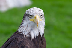 Kopf des kahlen Adlers Lizenzfreies Stockfoto