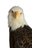 Kopf des kahlen Adlers Stockfotos