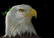 Kopf des kahlen Adlers Lizenzfreie Stockfotografie