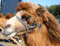 Kopf des Kamels Lizenzfreie Stockfotos