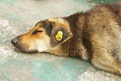 Kopf des kastrierten abschweifenden Hundes lizenzfreie stockfotos