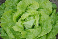 Kopf des Kopfsalates Stockfotografie