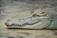 Kopf des Krokodils Stockfoto