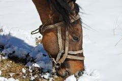 Kopf des Kyrgyz Pferds im Geschirr, Abschluss oben Lizenzfreie Stockbilder
