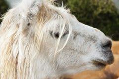 Kopf des Lamas Stockfotografie