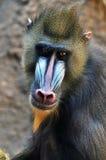Kopf des Mandrillpavians erwachsener Mannes Lizenzfreie Stockfotografie