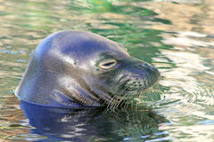 Kopf des Mönchs Seal Stockfotos