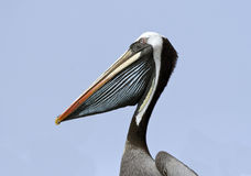 Kopf des Pelikans Lizenzfreies Stockfoto