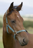Kopf des Pferds Lizenzfreie Stockfotografie