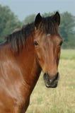 Kopf des Pferds Stockfoto