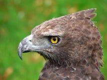Kopf des Raubvogels Stockfoto
