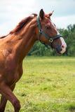 Kopf des roten Pferds Stockbilder