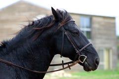 Kopf des schwarzen Stallion Stockfotos