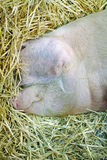 Kopf des Schweins Lizenzfreie Stockbilder