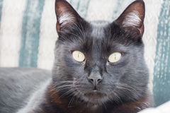 Kopf des Stillstehens der schwarzen Katze Stockbild