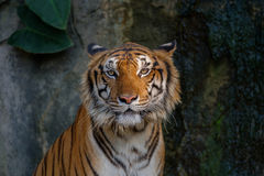 Kopf des Tigers Stockbild