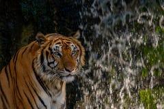 Kopf des Tigers Lizenzfreie Stockfotos