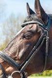 Kopf des vollblütigen braunen Pferds im Zaum, Auge im Abschluss oben Lizenzfreies Stockfoto