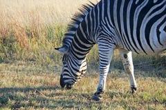 Kopf des Weiden lassens von Zebra Stockfoto
