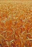 Kopf des Weizens Stockfotografie