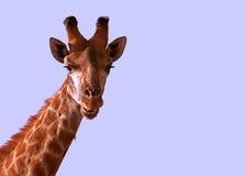 Kopf einer afrikanischen Giraffe Stockbild