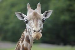 Kopf einer Giraffe Stockfoto