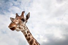 Kopf einer Giraffe im wilden Stockbild