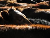 Kopf einer Kuh Stockbild