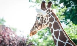 Kopf einer Nubian-Giraffe von hinten Lizenzfreie Stockfotografie