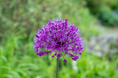 Kopf einer purpurroten Blume Stockfotografie