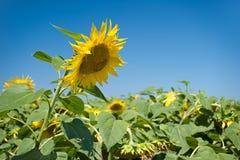 Kopf einer Sonnenblume auf Hintergrundhimmel Lizenzfreie Stockfotografie